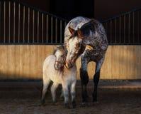 Cavalo do Appaloosa e cavalo diminuto americano no prado fotografia de stock