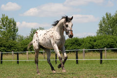Cavalo do Appaloosa - garanhão novo Fotografia de Stock Royalty Free