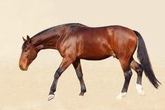 Cavalo do Bloodstock fotografia de stock