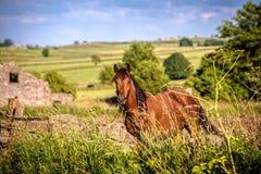 Cavalo do campo imagens de stock