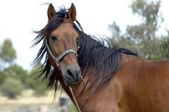 Cavalo do campo Foto de Stock