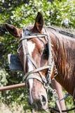 Cavalo do carrinho de Amish imagem de stock