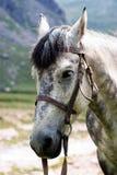 Cavalo do cinza do retrato Fotografia de Stock