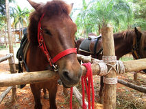 Cavalo do close-up na exploração agrícola Imagens de Stock