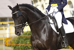 Cavalo do Dressage Imagem de Stock Royalty Free