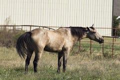 Cavalo do Dun que está no pasto que esticam para fora o celeiro moderno do pescoço e da cauda de ondulação e na cerca do metal no foto de stock