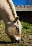 Cavalo do fiorde Imagem de Stock Royalty Free