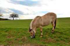 Cavalo do fiorde Imagem de Stock