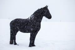 Cavalo do frisão na neve foto de stock royalty free