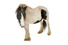 Cavalo do funileiro Imagem de Stock Royalty Free