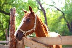 Cavalo do gengibre na exploração agrícola outdoors Imagens de Stock