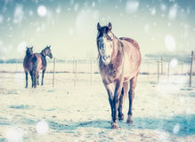 Cavalo do inverno no dia gelado no pasto do prado com neve Fotos de Stock