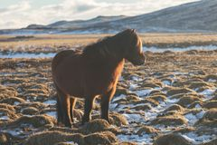 Cavalo do island?s de Brown O cavalo island?s ? uma ra?a do cavalo desenvolvida em Isl?ndia Um grupo de p?neis island?ses no past imagem de stock