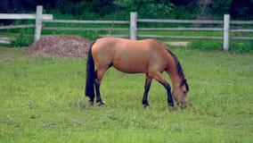 Cavalo do marrom da castanha que pasta em um prado vídeos de arquivo
