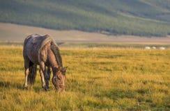 Cavalo do Mongolian em uma paisagem de mongolia do norte Foto de Stock Royalty Free