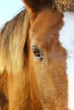 Cavalo do olho Fotos de Stock Royalty Free