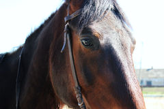 Cavalo do olho Fotografia de Stock