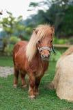 Cavalo do pônei da beleza Imagem de Stock Royalty Free