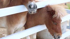 Cavalo do pônei na exploração agrícola video estoque