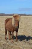Cavalo do Palomino em um campo fotografia de stock royalty free