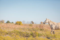 Cavalo do Palomino no campo Imagens de Stock Royalty Free