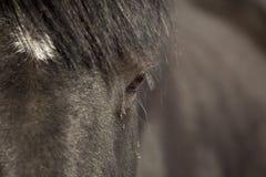 Cavalo do percheron do close up imagens de stock