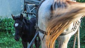 Cavalo do potro com mãe fotografia de stock royalty free