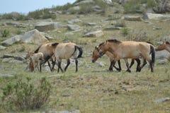 Cavalo do przewalski do Mongolian fotos de stock royalty free