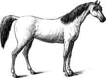 Cavalo do puro-sangue ilustração royalty free