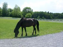 Cavalo do puro-sangue de Vermont foto de stock
