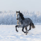 Cavalo do puro-sangue que galopa através de um prado nevado do inverno Foto de Stock