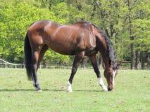Cavalo do puro-sangue que pasta Fotografia de Stock