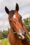 Cavalo do quarto de Brown foto de stock royalty free