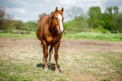 Cavalo do quarto de HDR Imagens de Stock