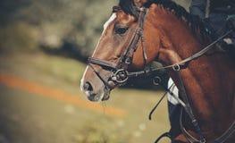 Cavalo do retrato no freio Esporte equestre imagens de stock royalty free