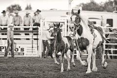 Cavalo do rodeio com potro Imagem de Stock