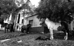 Cavalo doente Foto de Stock Royalty Free