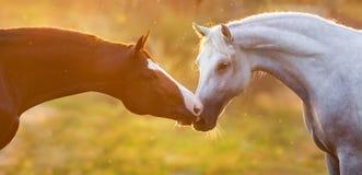 Cavalo dois na luz solar Fotos de Stock Royalty Free