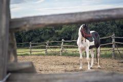 Cavalo doméstico fotografia de stock royalty free