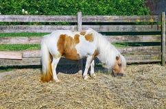 Cavalo doméstico do pônei foto de stock