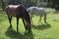 Cavalo dos cavalos, da equitação, de criação de animais de cavalo, o cinzento e o branco, prado verde, dia ensolarado, cavalos ca Imagem de Stock Royalty Free