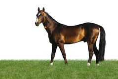 Cavalo dourado do akhal-teke isolado no branco Imagens de Stock