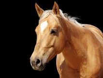 Cavalo dourado do palomino do Close-up Fotografia de Stock Royalty Free