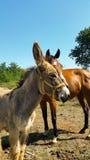 Cavalo e asno Fotos de Stock Royalty Free