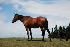 Cavalo e cão no prado Imagem de Stock Royalty Free