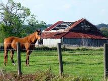 Cavalo e celeiro velho Fotos de Stock Royalty Free
