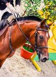 Cavalo e homem do adestramento da baía no uniforme na competição do showjumping Fotografia de Stock Royalty Free