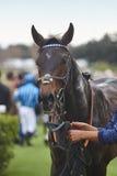 Cavalo e jóquei de raça após a raça Área do prado Fotografia de Stock Royalty Free