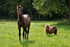 Cavalo e pônei no prado Fotografia de Stock Royalty Free