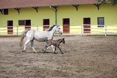 Cavalo e potro de Lipizzaner Foto de Stock